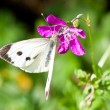 Royalty-Free Stock Photo: White butterfly on flower
