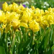 Yellow irises — Stock Photo