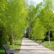 Stock Photo: Birch park alley in spring