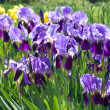 Blooming violet irises — Stock Photo