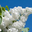 Branch of white lilac against a blue sky — Stock Photo
