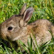 Stock Photo: Little rabbit on green grass