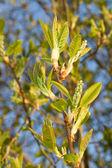 Pousses de printemps frais — Photo