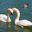 Close-up two white swans on lake - Stock Photo