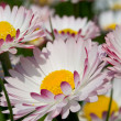 Wild daisy flowers in spring — Stock Photo