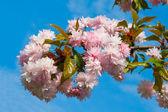 Blühenden pflaumenbaum — Stockfoto