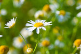 Close-up meadow chamomiles — Stock Photo