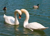 Close-up dois cisnes brancos no lago — Fotografia Stock