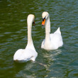 Two white swans on lake - Stock Photo