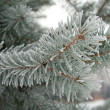 Branch of fir — Foto Stock