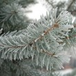 Branch of fir — Foto de Stock