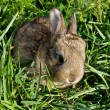 Gray rabbit into green grass — Stock Photo
