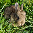 Gray rabbit into green grass — Stock Photo #2307012