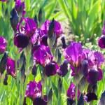 Violet irises — Stock Photo