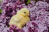 Chick in lilac flowers — Stock Photo