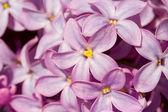 Five petals lilac flower macro — Stock Photo