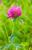 Pink clover against a green background — Stock Photo