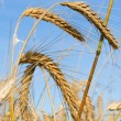 Ripe rye ears against a blue sky - Stock Photo