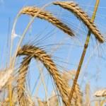 Ripe rye ears against a blue sky — Stock Photo