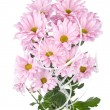 Pink chrysanthemum flowers bouquet — Stock Photo