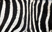 Natural Zebra background — Stock Photo
