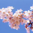Flowering almond tree - Stock Photo