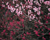 Flowering almond tree — Stock Photo