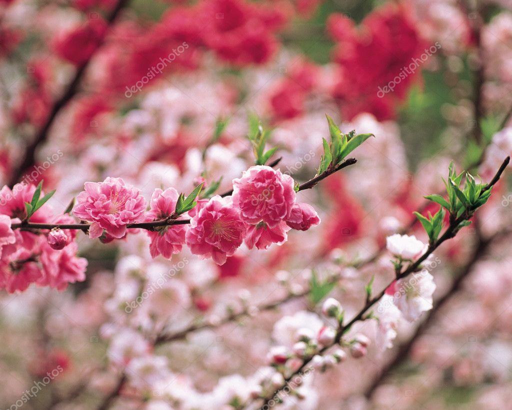 Flowering almond tree — Stock © NzStudio