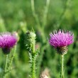 Bull Scotch Thistle Flower — Stock Photo