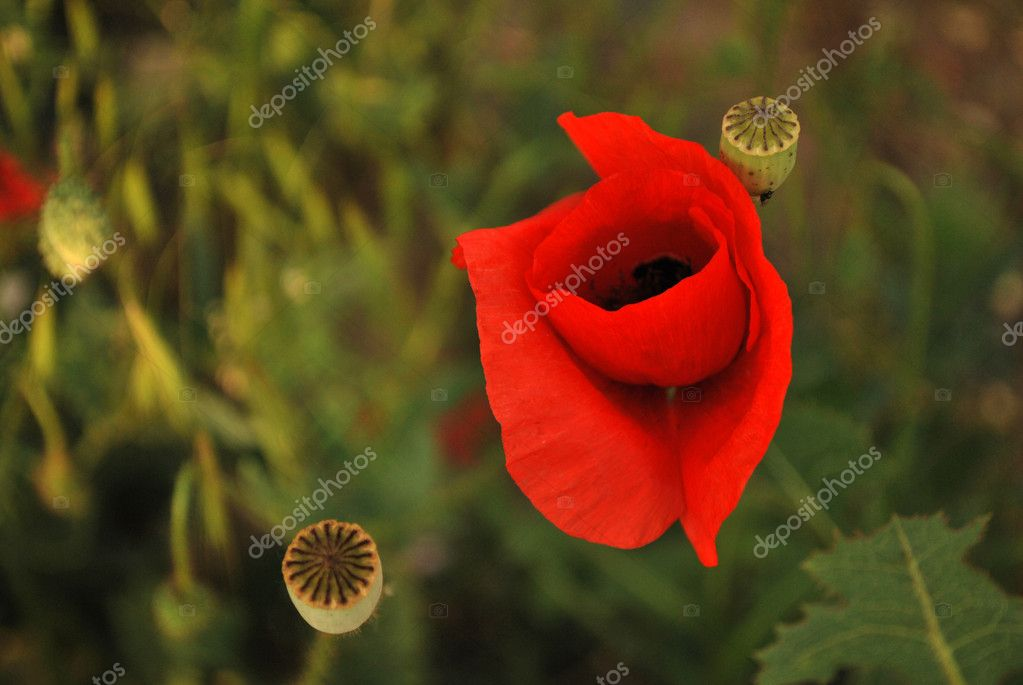 Close up of two poppies growing in a field — Stock Photo #1948920
