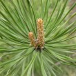 Pine tree — Stock Photo #1733264
