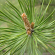 Pine tree — Stock Photo #1733318