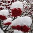 Stock Photo: Snow-covered service-tree