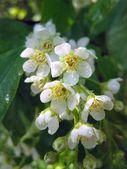 Apple tree blossoming — Stock Photo