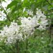 Bird cherry tree. blossoming — Stock Photo