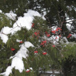 Stock Photo: Snow, trees, berry