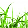 Grass isolated — Stock Photo #1815977