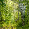 Forest path between birches — Stock Photo
