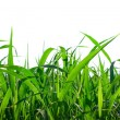 Grass isolated — Stock Photo #1830774