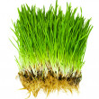 Grass isolated — Stock Photo #1831361