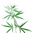Hemp isolated — Stock Photo #1831588