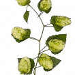 Stock Photo: Hop