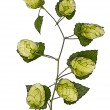Hop — Stock Photo #2210691