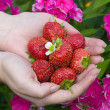 Hands with red strawberries — Stock Photo
