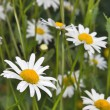 White chamomile flowers — Stock Photo #1684611