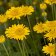 Yellow chamomile flowers — Stock Photo