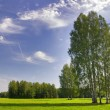 Group of green birches — Stock Photo
