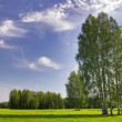 Stock Photo: Group of green birches