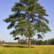 Stock Photo: Single pine