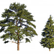 Fir and pine — Stock Photo
